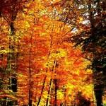 Foret-en-automne (Copier)